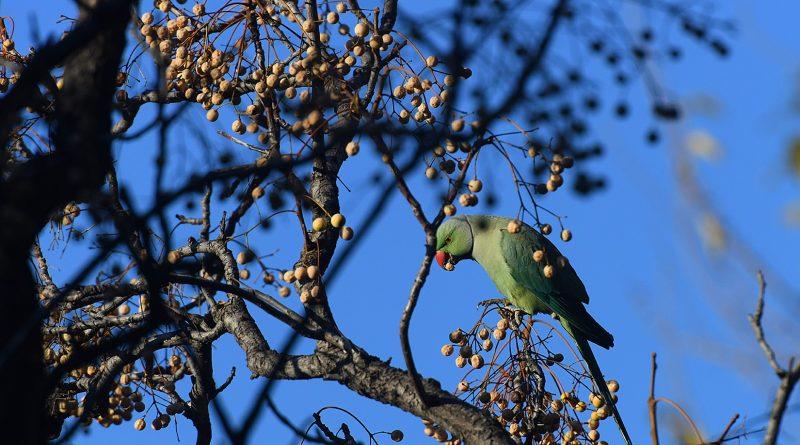 Ege Üniversitesi Kampüsünün 'Yeşil' Sakinleri: Yeşil Papağanlar