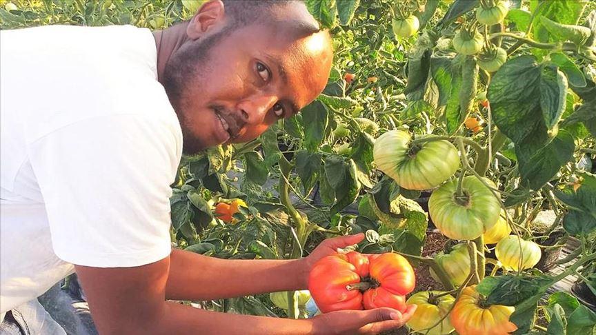 Somalili üniversite öğrencisi 1 kilo 130 gram ağırlığında domates yetiştirdi
